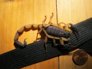 scorpion costa rica