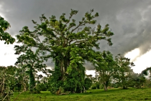 Banyan tree,_Efate,_Vanuatu,_13_April_2008_-_Flickr_-_PhillipC
