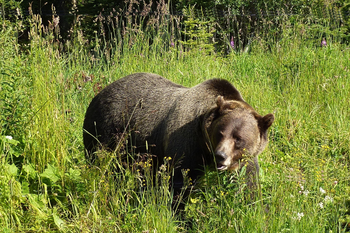 grizzly-1180556_1920
